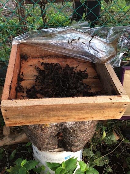 Non Stinging Bees and pots Happy Farm Penang