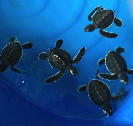 Turtle Hatchery Pantai Kerachut Penang National Park Malaysia