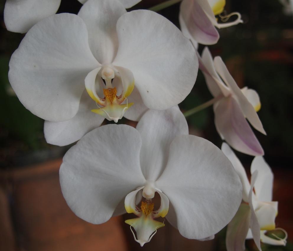 Almost plastic orchids,Ferringhi Garden Batu Ferringhi, Penang National Park, Pantai Kerachut Penang